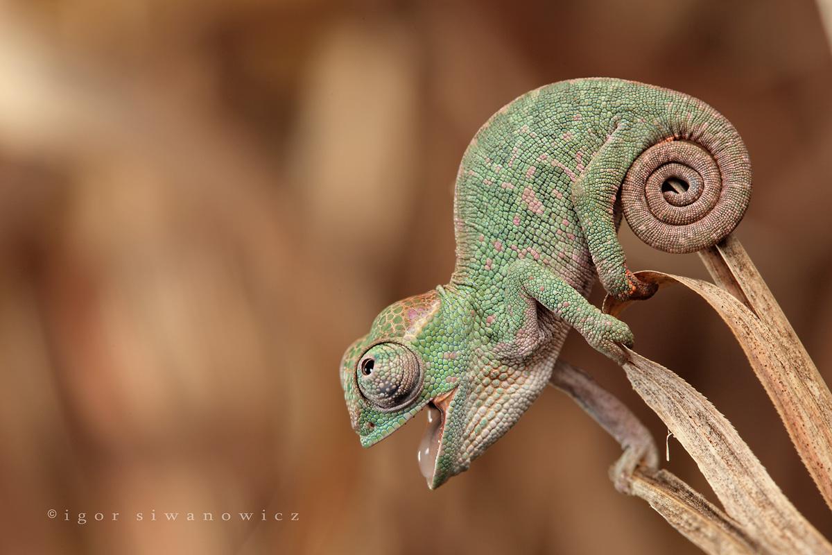 name cute chameleon - photo #13